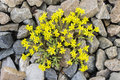 Yellow flowers among rocks Stock Photo
