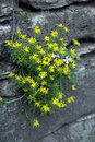 Yellow flowers on the rocks Royalty Free Stock Photo