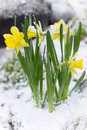 Yellow flowers in the snow Royalty Free Stock Photo