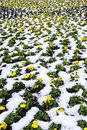 Yellow flowers in snow many Royalty Free Stock Images