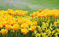 Yellow flowers in spring garden tulips and narcissuses Royalty Free Stock Images