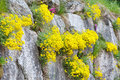 Yellow flowers between stones of rocky slope summer nature background Royalty Free Stock Image