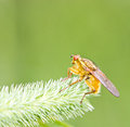 Yellow Fly On Grass