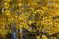 Yellow foliage of european aspen populus tremula in autumn natural textured background Stock Photos