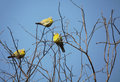 Yellow footed green pigeons Royalty Free Stock Photo