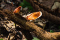 Yellow footed polypore Royalty Free Stock Photo