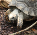 Yellow-footed tortoise close Royalty Free Stock Photo