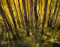 Yellow Forest (H) Stock Photography