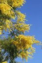 Yellow fragrant mimosa flower symbol of the feast of the woman Royalty Free Stock Image