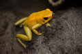 Yellow Frog Royalty Free Stock Photo