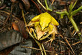 Yellow frogs close up of a couple of in madagascar Royalty Free Stock Image