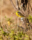 A Yellow -fronted Canary on a twig Royalty Free Stock Photo