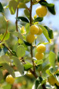 Yellow fruits on twigs with green leafs. Royalty Free Stock Photo