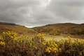 Yellow furze in overcast Scottish Highlands Royalty Free Stock Photo