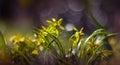 Yellow Gagea