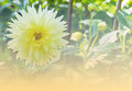 Yellow garden dahlia flower beautiful of blossom in the park hybrid compositae Royalty Free Stock Photos