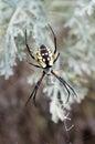 Yellow Garden Spider (Argiope aurantia) Royalty Free Stock Photo