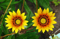 Yellow gazania flowers Stock Photos