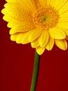 Yellow Gerber Royalty Free Stock Photos