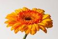 Yellow Gerber Daisy Royalty Free Stock Photo