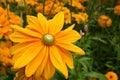 Yellow Gerber Daisy Flower Royalty Free Stock Photo