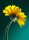 Yellow gerber flower Royalty Free Stock Photo