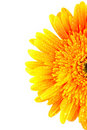 Yellow gerber flower isolated Royalty Free Stock Photo