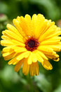 Yellow gerber flower with water drops Royalty Free Stock Photo