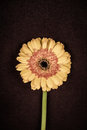 Yellow gerbera daisy flower on a brown background Stock Image