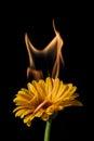 Yellow gerbera on fire Royalty Free Stock Photo