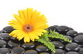 Yellow gerbera flower and black zen stone Royalty Free Stock Photo