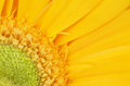 Yellow gerbera flower detail macro of beautiful daisy stacked focus Royalty Free Stock Images