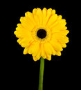 Yellow gerbera flower with green stem isolated on black background Stock Photo
