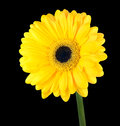 Yellow gerbera flower with green stem isolated on black background Stock Photos