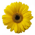 Yellow Gerbera flower isolated on white background Royalty Free Stock Photo