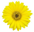 Yellow gerbera flower isolated on white Royalty Free Stock Photo