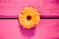 Yellow gerbera flower symbol of delicacy and distinction on a wooden table painted in pink Royalty Free Stock Photo
