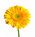 Yellow gerbera isolated white background Royalty Free Stock Photos