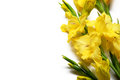 Yellow gladiolus on a white background on the right with space left for text Royalty Free Stock Photos