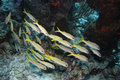 Yellow Goatfish (Mulloidichthys martinicus) Stock Photo