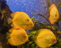 Yellow gold discus symphysodon discus fish is swimming in the blue water Royalty Free Stock Photos