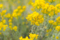 Yellow and gold wildflowers Royalty Free Stock Photo