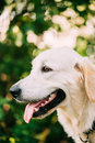 Yellow Golden Labrador Retriever Dog, Portrait Of Head Muzzle. Royalty Free Stock Photo