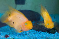 Yellow Goldfish Royalty Free Stock Photos