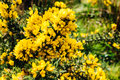 Yellow gorse flowers on a bush. Royalty Free Stock Photo