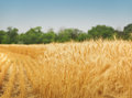 Yellow grain ready harvest growing farm field Royalty Free Stock Photo