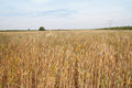 Yellow grain ready for harvest growing in a farm field Royalty Free Stock Photo