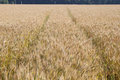 Yellow grain ready for harvest growing in a farm field Royalty Free Stock Image