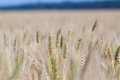 Yellow grain ready for harvest Royalty Free Stock Photo