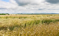 Yellow grain ready for harvest growing Royalty Free Stock Photo